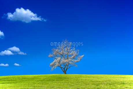 青空背景の緑地の丘に咲く1本の満開の桜の木。背景用素材の写真素材 [FYI04214629]