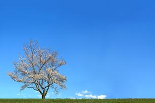 青空背景の緑地と1本の満開の桜の木。背景用素材の写真素材 [FYI04214632]