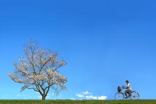 青空を背景に満開の桜の木に向かい自転車に乗る女子高校生。進学,入学,進路,通学イメージの写真素材 [FYI04214655]