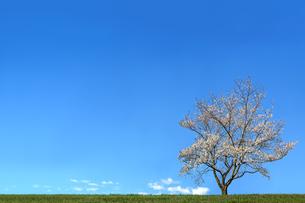 青空背景の緑地と1本の満開の桜の木。背景用素材の写真素材 [FYI04214678]