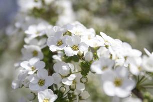 ユキヤナギの花の写真素材 [FYI04214843]