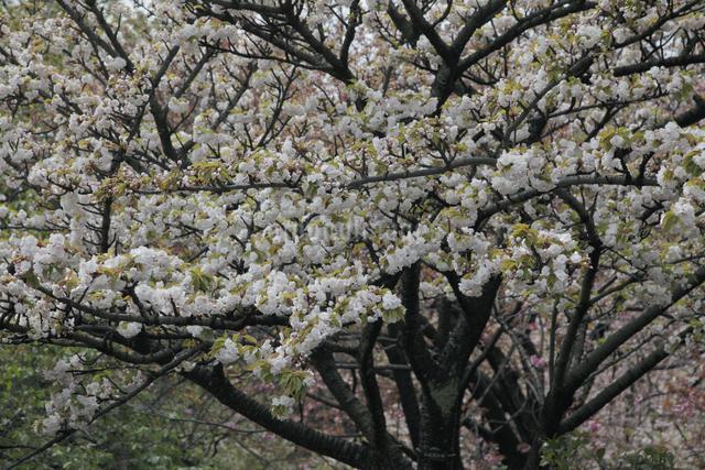 八重桜(市原虎の尾)の写真素材 [FYI04215757]