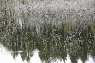 池の枯れ草の写真素材 [FYI04217579]