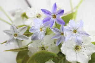 水滴に濡れるハナニラと梨の花の写真素材 [FYI04218394]