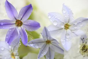 水滴に濡れるハナニラと梨の花の写真素材 [FYI04218395]