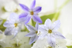 水滴に濡れるハナニラと梨の花の写真素材 [FYI04218396]