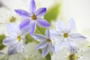 水滴に濡れるハナニラと梨の花の写真素材 [FYI04218397]