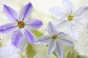 水滴に濡れるハナニラと梨の花の写真素材 [FYI04218398]