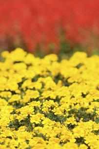 マリーゴールドの花の写真素材 [FYI04223142]