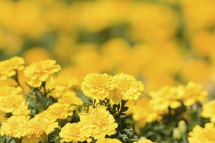マリーゴールドの花の写真素材 [FYI04223143]