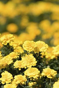 マリーゴールドの花の写真素材 [FYI04223146]