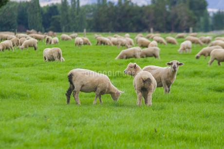 羊_ニュージーランドの写真素材 [FYI04223317]