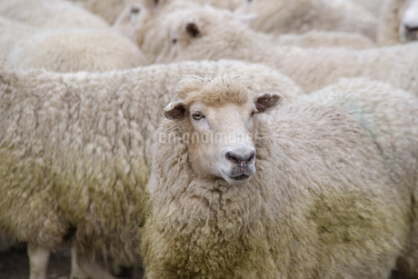 羊_ニュージーランドの写真素材 [FYI04223341]