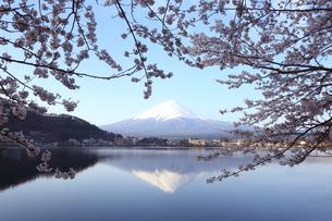 朝の光の中の桜と湖の逆さ富士の写真素材 [FYI04227386]