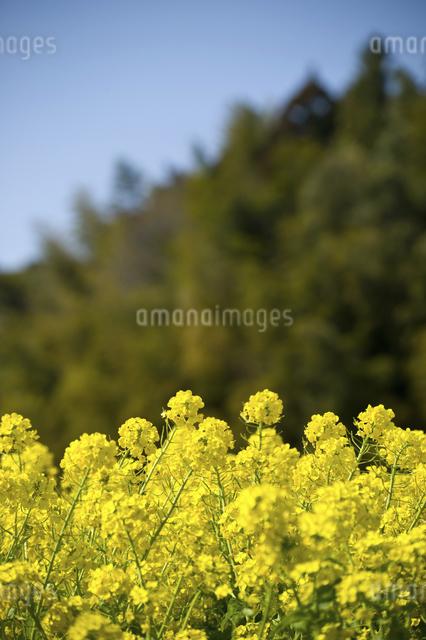 菜の花畑のイラスト素材 [FYI04228753]
