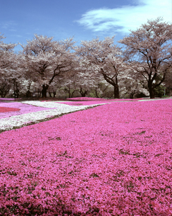 野鳥の森ガーデンの芝桜の写真素材 [FYI04229977]
