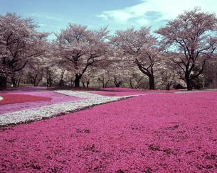 野鳥の森ガーデンの芝桜の写真素材 [FYI04229979]