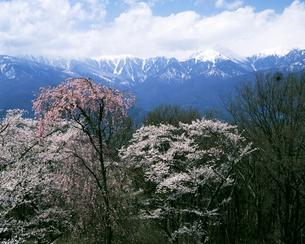 光城山の桜と北アルプスの写真素材 [FYI04229987]