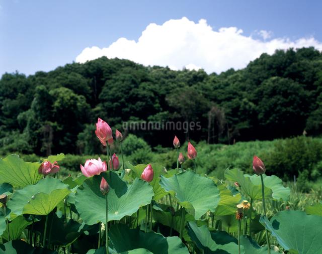 花之江の郷・大賀蓮の写真素材 [FYI04230066]