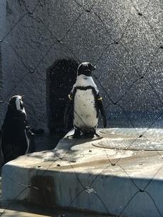ペンギンの写真素材 [FYI04232331]