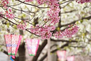 桜の花と提灯の写真素材 [FYI04232810]