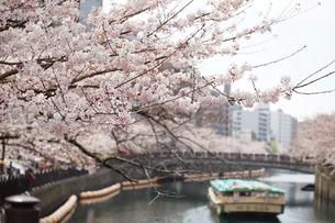 川沿いの桜の写真素材 [FYI04233040]
