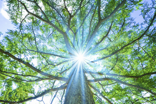 大木と木漏れ日の写真素材 [FYI04233473]