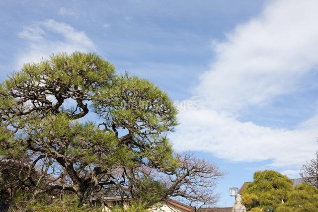 多聞寺の松の木のイラスト素材 [FYI04234922]