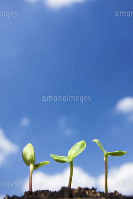 ヒマワリの芽の写真素材 [FYI04235847]