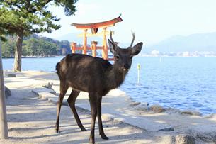 宮島の大鳥居と鹿の写真素材 [FYI04237551]