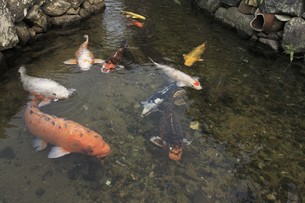 萩、藍場川の鯉の写真素材 [FYI04238188]
