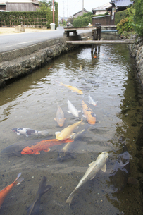 萩、藍場川の鯉の写真素材 [FYI04238202]