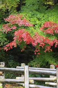 岩見銀山の紅葉の写真素材 [FYI04238371]