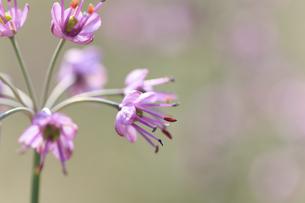 らっきょの花の写真素材 [FYI04238843]