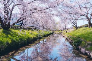 元荒川の桜並木の写真素材 [FYI04238968]