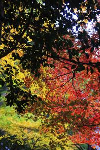 三徳山の紅葉の写真素材 [FYI04239099]