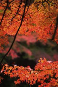 奥津渓谷の紅葉の写真素材 [FYI04239233]