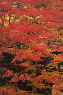 奥津渓谷の紅葉の写真素材 [FYI04239256]