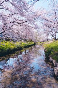 元荒川の桜並木の写真素材 [FYI04239609]