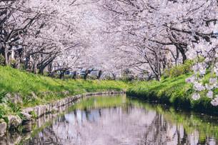 元荒川の桜並木の写真素材 [FYI04242770]