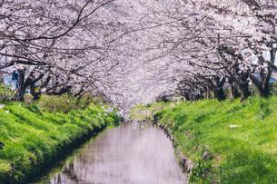 元荒川の桜並木の写真素材 [FYI04244003]