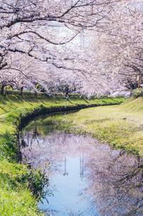 元荒川の桜並木の写真素材 [FYI04244615]