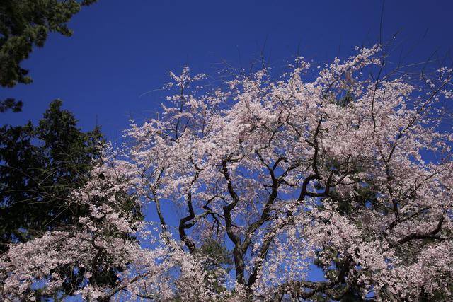 醍醐寺のしだれ桜の写真素材 [FYI04244687]