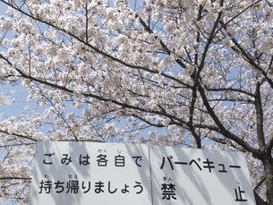 満開の桜とバーベキュー禁止看板のイラスト素材 [FYI04247316]