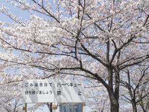 満開の桜とバーベキュー禁止看板のイラスト素材 [FYI04247320]