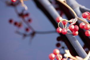 サンキライの実と竹炭の写真素材 [FYI04248380]