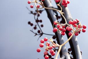 サンキライの実と竹炭の写真素材 [FYI04248381]