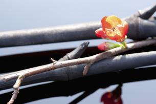ボケの花と竹炭の写真素材 [FYI04248384]