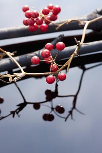 サンキライの実と竹炭の写真素材 [FYI04248386]