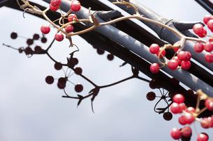 サンキライの実と竹炭の写真素材 [FYI04248387]